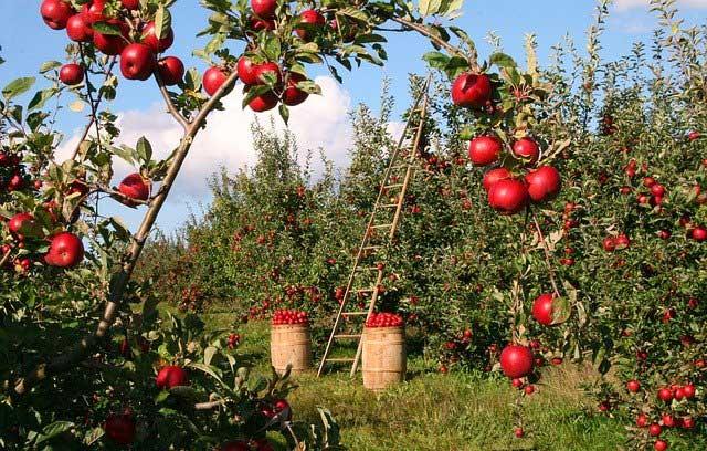 Особенности летней подкормки плодовых деревьев и ягодных культур