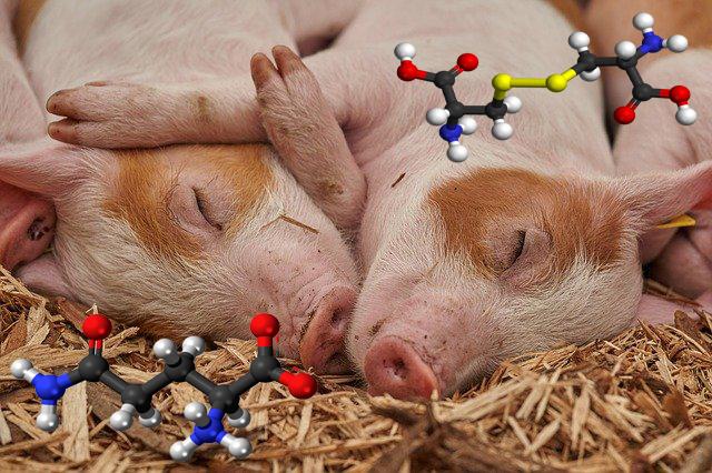 Амінокислоти для відгодівлі свиней