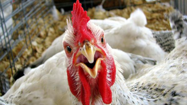 Как лечить кур. Эффективные препараты при распространенных заболеваниях