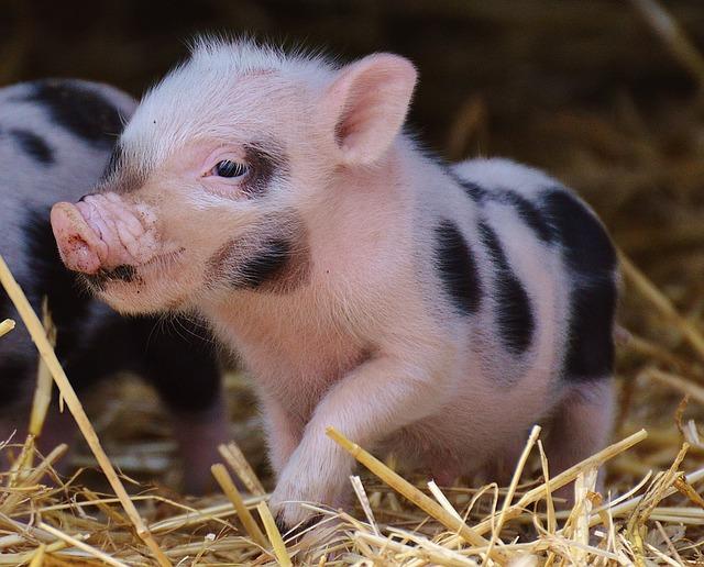 Как лечить свиней. Предлагаем препараты для лечения свиней
