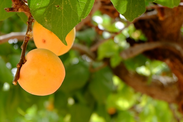 Минеральные удобрения для сливы, абрикоса, вишни